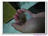 090222 我的黃金鼠&菜園:090222 Bobo13.jpg