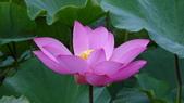 2017年台北植物園荷花池:DSC02766.JPG