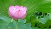2017年台北植物園荷花池:DSC02836.JPG