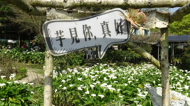 DSC00080.JPG - 2021竹子湖海芋季