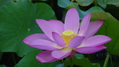 2017年台北植物園荷花池:DSC02838.JPG
