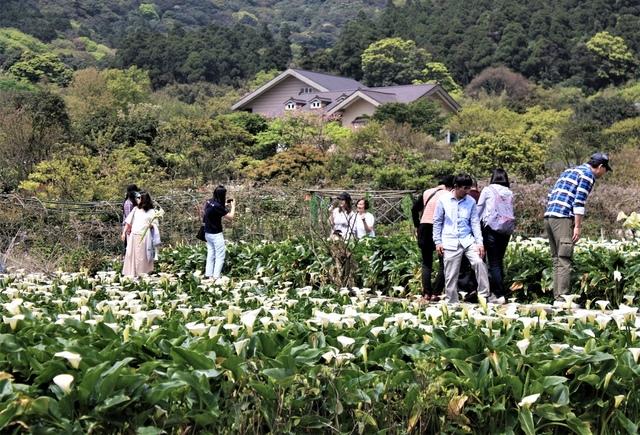 IMG_1772.JPG - 2021竹子湖海芋季