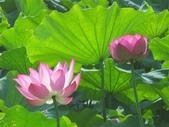 2017年台北植物園荷花池:IMG_5276.JPG