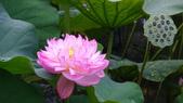 2017年台北植物園荷花池:DSC02763.JPG