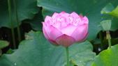 2017年台北植物園荷花池:DSC02781.JPG
