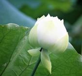 2017年台北植物園荷花池:IMG_0438.JPG