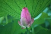 2017年台北植物園荷花池:IMG_0348.JPG