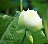 2017年台北植物園荷花池:IMG_0428.JPG