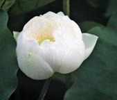 2017年台北植物園荷花池:IMG_0434.JPG