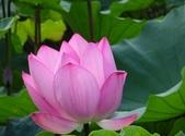 2017年台北植物園荷花池:DSC02774.JPG