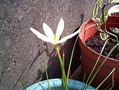 我的天空花園:蔥蘭-1