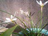 我的天空花園:蔥蘭-4