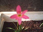 我的天空花園:小韭蘭...