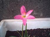 我的天空花園:小韭蘭2