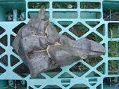 龜甲山林:短鯛ㄟ咕