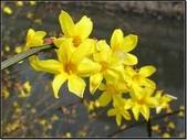 花:迎春花.jpg