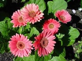 花:非洲菊.jpg