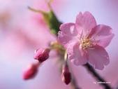 花:桃花.jpg