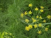 花:茴香.jpg