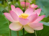花:蓮花.jpg