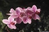 花:蝴蝶蘭.jpg