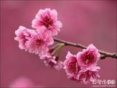 花:櫻花.jpg