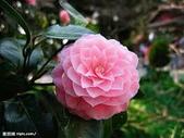 花:山茶花.jpg