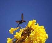 花:巴西樹.jpg