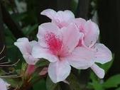 花:杜鵑花.jpg