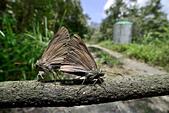 幸福進行式:_APR0250圓翅絨弄蝶(臺灣絨毛弄蝶)Hasora taminatus vairacana.jpg