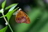 蛺蝶亞科 Nymphalinae -- 03:_SEP9641琺蛺蝶(紅擬豹斑蝶)Phalanta phalantha.jpg