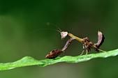 螳螂目:_JUL8979台灣姬螳螂  Acromantis formosana若蟲.jpg