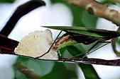 螳螂目:_NOV8799大螳螂 Tenodera aridifolia.jpg