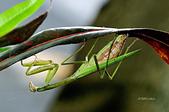 螳螂目:_NOV8684大螳螂 Tenodera aridifolia.jpg
