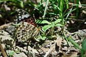 蛺蝶亞科 Nymphalinae -- 03:_OCT5006斐豹蛺蝶(黑端豹斑蝶)Argyreus hyperbius雌.jpg
