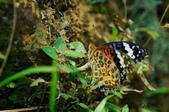蛺蝶亞科 Nymphalinae -- 03:_MAY5294斐豹蛺蝶(黑端豹斑蝶)Argyreus hyperbius (Linnaeus).jpg