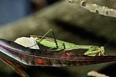 螳螂目:_NOV8837大螳螂 Tenodera aridifolia.jpg