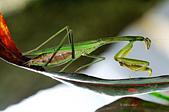 螳螂目:_NOV8686大螳螂 Tenodera aridifolia.jpg