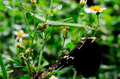 螳螂目:_AUG1588大螳螂 Tenodera aridifolia.jpg