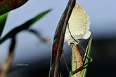 螳螂目:_NOV8819大螳螂 Tenodera aridifolia.jpg