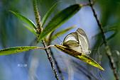 幸福進行式:_DSC7059淡褐脈粉蝶(淡紫粉蝶)Cepora nandina eunama.jpg