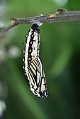 鱗翅目 - 幼蟲 蛹:2015-03-12-10.45.56 ZS retouched 19P 苧麻珍蝶(細蝶)Acraea issoria formosana蛹(DAY 1).jpg