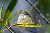幸福進行式:_DSC7048淡褐脈粉蝶(淡紫粉蝶)Cepora nandina eunama.jpg