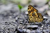 蛺蝶亞科 Nymphalinae -- 03:_APR8218花豹盛蛺蝶(姬黃三線蝶)Symbrenthia hypselis scatinia.jpg