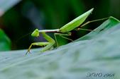 螳螂目:_AUG1358大螳螂 Tenodera aridifolia.jpg