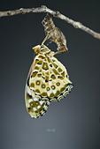 蛺蝶亞科 Nymphalinae -- 03:_NOV5511斐豹蛺蝶(黑端豹斑蝶)Argyreus hyperbius雌.jpg