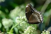 蛺蝶亞科 Nymphalinae -- 03:_NOV5943幻蛺蝶(琉球紫蛺蝶)Hypolimnas bolina kezia雌.jpg