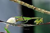 螳螂目:_NOV8791大螳螂 Tenodera aridifolia.jpg