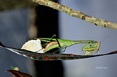 螳螂目:_NOV8803大螳螂 Tenodera aridifolia.jpg