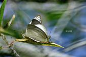 幸福進行式:_DSC7046淡褐脈粉蝶(淡紫粉蝶)Cepora nandina eunama.jpg
